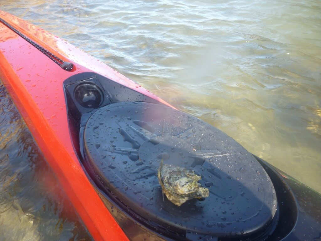 Oyster picking by kayak