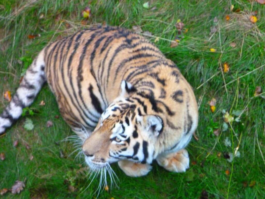 A Tiger at Nordens Ark Zoo