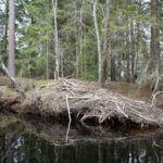 A beaver lodge in Varmland